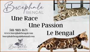 Elevage - Chatterie Bucepha le bengal